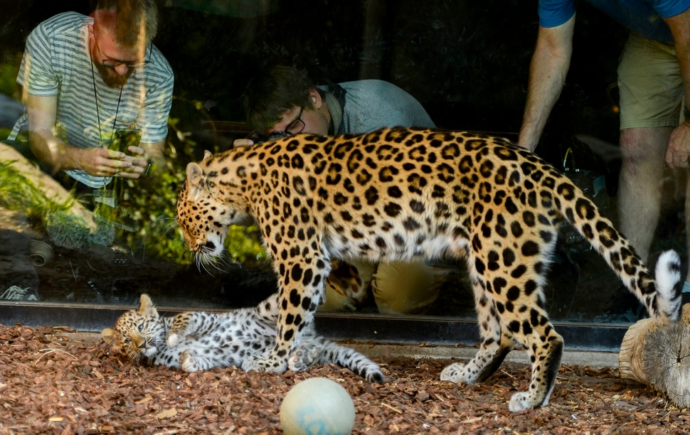 Leah Hogsten | The Salt Lake Tribune Amur leopard, Jilin (JEE-lin), named after the region leopards are found in the wild plays with her mother, Zeya, in their enclosure at Hogle Zoo, Thursday, August 9, 2018. Born May 9, Jilin weighs just over 10 lbs. and has white toes just like her brothers born last year. Experts estimate only 60 leopards remain in the wild.