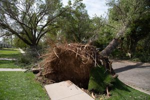 (Francisco Kjolseth  |  The Salt Lake Tribune) Large trees are uprooted along Hannibal Street near Highland High as crews and home owners begin extensive wind damage cleanup in Salt Lake City on Wednesday, Sept. 9, 2020, following a storm that brought hurricane-force winds.