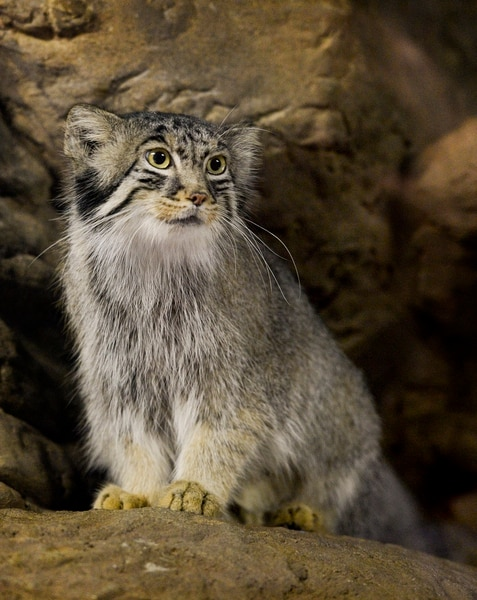 Leah Hogsten | The Salt Lake Tribune Pallas Cat, Hal (pronounced HA-ru), birthed a litter of five pallas cats on May 26. Hal alternates between running away from the rambunctious kids and keeping them from falling off ledges. The three male and two female kittens weighed in at just over 2 lbs. at their most recent check-up.