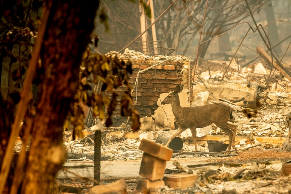 A deer walks past a destroyed home on Orrin Lane after the wildfire burned through Paradise, Calif., on Saturday, Nov. 10, 2018. Not much is left in Paradise after a ferocious wildfire roared through the Northern California town as residents fled and entire neighborhoods are leveled. (AP Photo/Noah Berger)