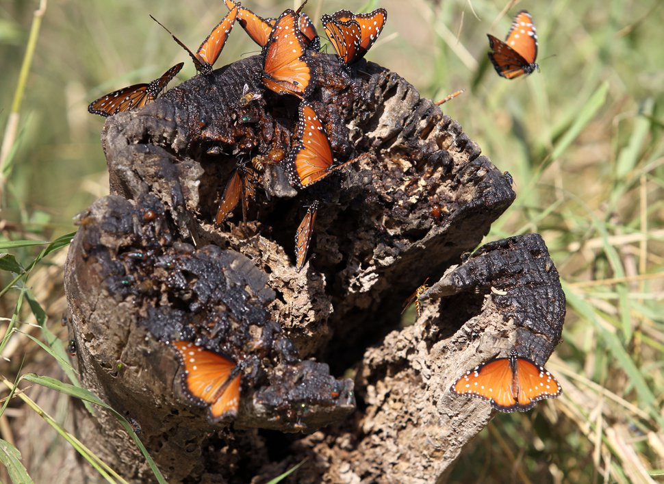 (Delcia Lopez | For the Guardian) Butterflies are seen at at National Butterfly Park on Tuesday Dec. 11, 2018, in Mission, Texas.