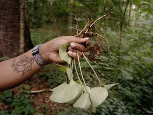 (Adraint Bereal   The New York Times) Alexis Nikole Nelson, known as the Black Forager to her 1.7 million TikTok followers, holds an uprooted edible plant in Columbus, Ga., July 13, 2021. Though there are no definitive statistics, foragers have informally reported an increase in the practice during the pandemic.
