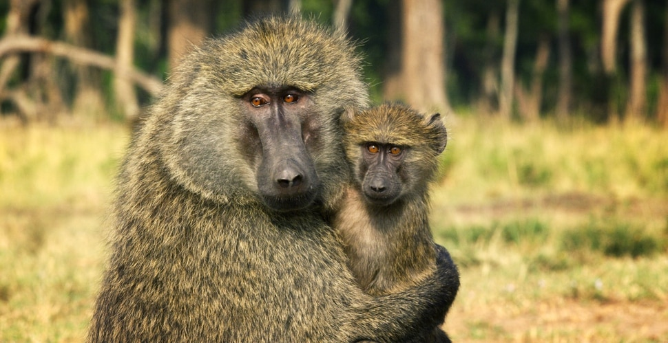 "(Photo courtesy Discovery) There are a bunch of baboons in ""Serengeti."""
