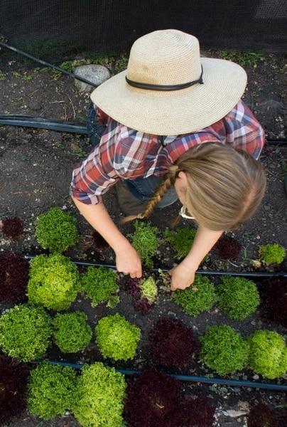 (Rick Egan | The Salt Lake Tribune) Amanda Theobald, harvests lettuce at the Top Crops urban farm in her back yard, in Salt Lake City, Tuesday, June 5, 2018.