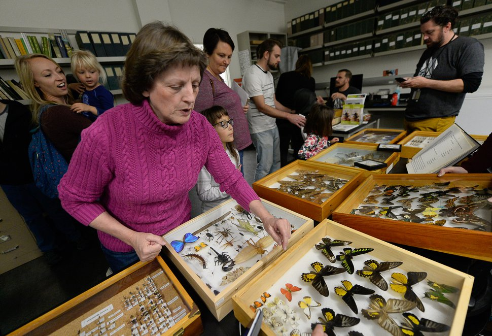 (Francisco Kjolseth | The Salt Lake Tribune) Becky Rueckert, granddaughter of Ezra Day who studied insects extensively and donated his collection to the museum, overlooks some of the insects that her grandfather collected and are now part of the entomology collection. On Saturday, Nov. 16, 2019, Rueckert joined the annual Behind the Scenes event, coinciding this year with the museum's 50th anniversary.