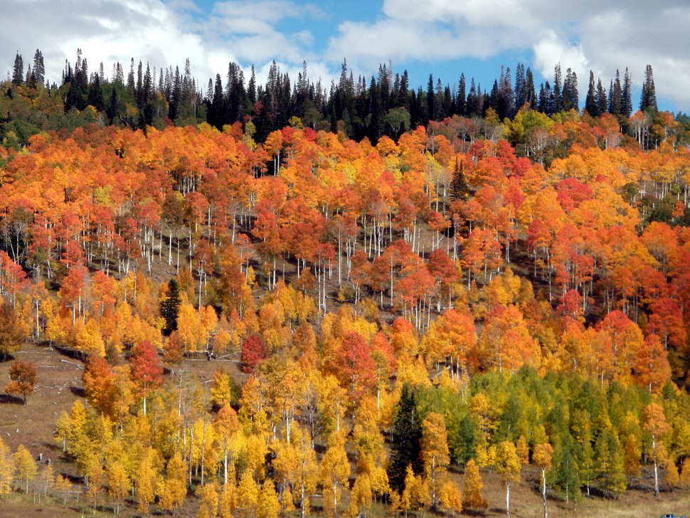 (Courtesy U.S. Forest Service) Aspen and spruce forests exhibit a variety of colors in October along State Road 31 near the top of the Wasatch Plateau in upper Huntington Canyon in Manti-La Sal National Forest. Photo by Richard M. Warnick.