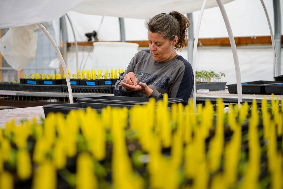 (Trent Nelson | The Salt Lake Tribune) Kelly Rhees working at Wasatch Community Gardens' downtown Salt Lake City location on Tuesday April 2, 2019.
