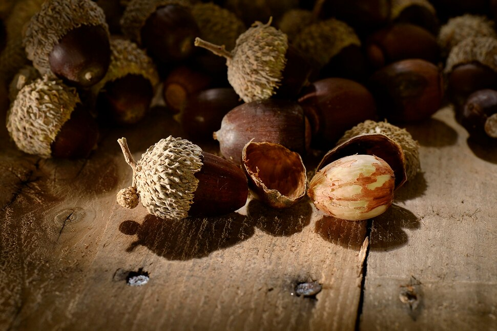 do you have what it takes to eat an acorn the salt lake tribune