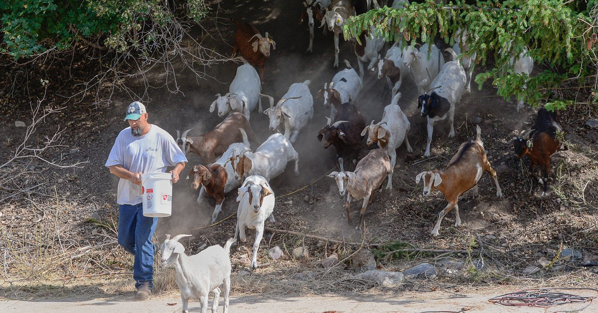 goats chomp down utah homeowners grass to prevent wildfires and