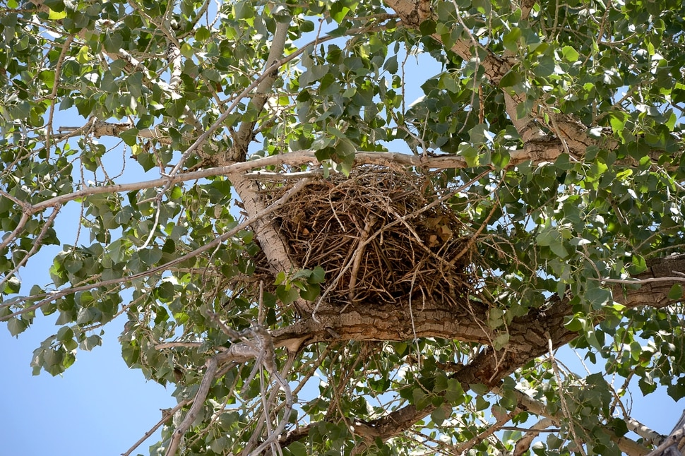 (Francisco Kjolseth   The Salt Lake Tribune) A red-tailed hawk nest is perched high on a large cottonwood tree in an industrial area of Salt Lake City.
