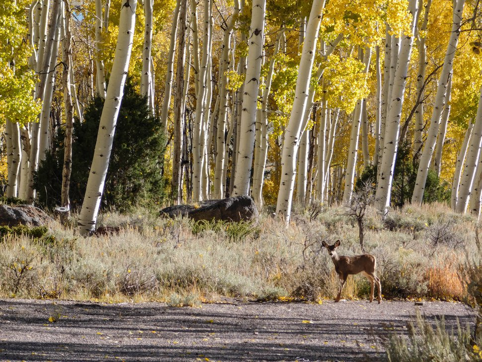 (Erin Alberty | The Salt Lake Tribune) A mule deer approaches the Pando aspen clone Oct. 5, 2017 in Sevier County. Pando is the largest aspen grove —and most massive living thing —known on earth, but scientists say it could die soon because deer are browsing the clone's new sprouts, preventing it from regenerating.