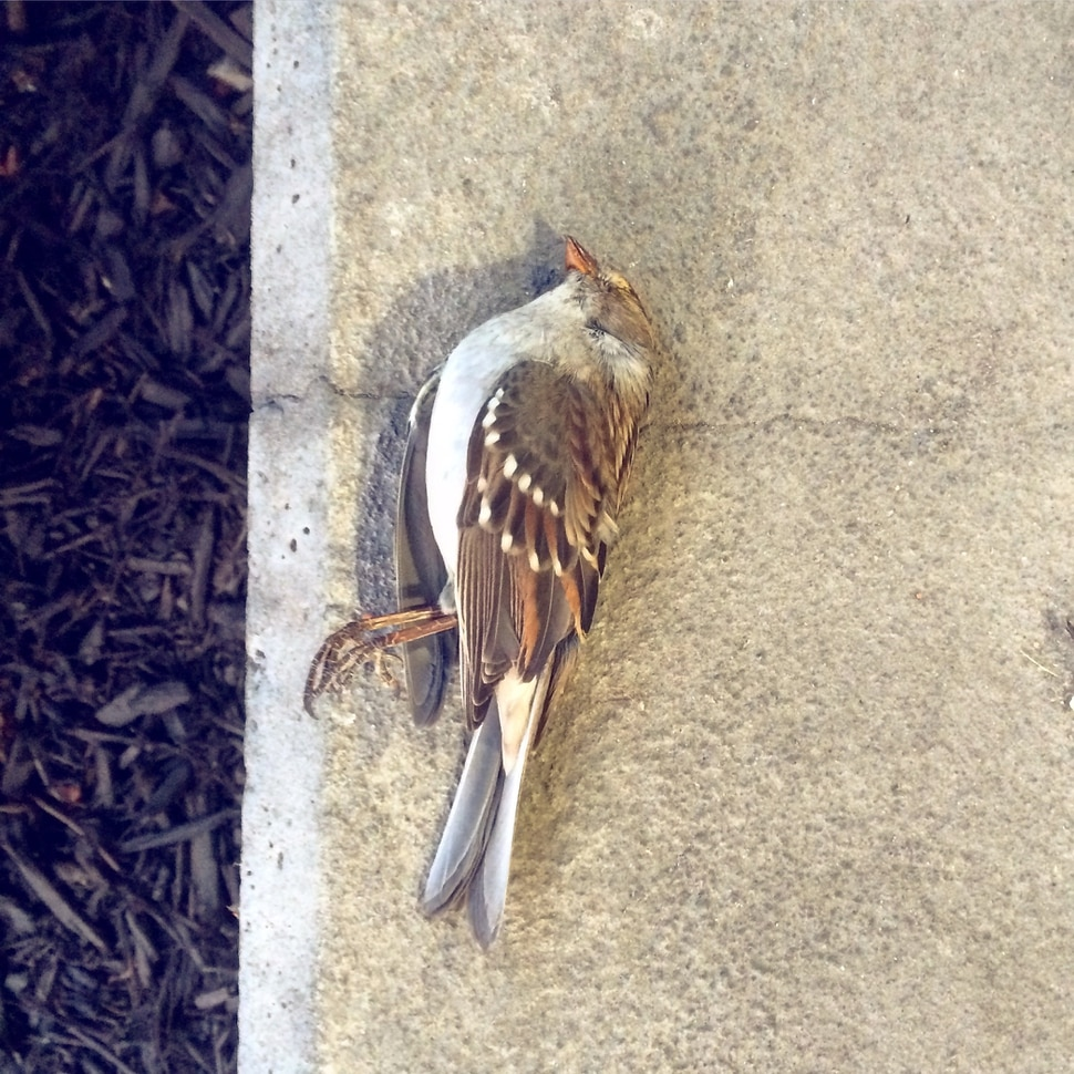 (Courtesy Tracy Aviary) A White-Crowned Sparrow lies dead on pavement in Salt Lake City. It is one of 44 fallen birds that researchers collected last year to learn more about Salt Lake City's hazards to migrating birds. Tracy Aviary and SLC Dark Sky are asking building owners to turn off their lights during the spring and fall months to prevent nighttime flyers from being drawn into the city, where many become disoriented and crash.