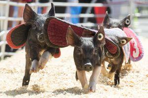 (Rick Egan  |  The Salt Lake Tribune)      Pigs named Jennifer Lopigs, Brittney Spareribs, Kim Kardashiham, and Christina Hogulara sprint around a 150 foot track for a nn Oreo Cookie, in the Swifty Swine Race, on opening day of the Utah State Fair, Thursday, Sept. 6, 2018.