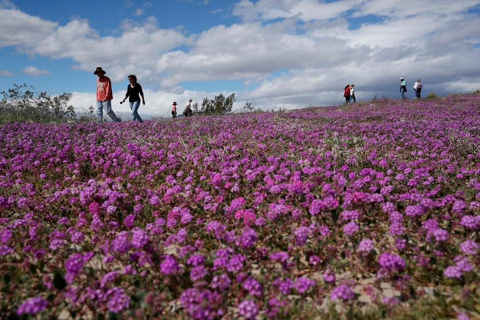 In this Wednesday, March 6, 2019, photo, people walk among wildflowers in bloom near Borrego Springs, Calif. Two years after steady rains sparked seeds dormant for decades under the desert floor to burst open and produce a spectacular display dubbed the super bloom, another winter soaking this year is shaping up to be possibly even better. (AP Photo/Gregory Bull)