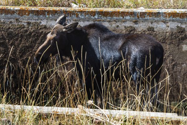 (Rick Egan  |  The Salt Lake Tribune)   A moose is stranded in the Lambs Creek diversion pond near Mountain Dell golf course, on Sunday, September 20, 2020. Sunday, Sept. 20, 2020.
