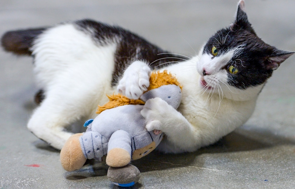 (Leah Hogsten | The Salt Lake Tribune) Maxwell, a recent addition to Nuzzles & Co., keeps himself entertained while playing with a stuffed doll. Salt Lake City car seller Mark Miller Subaru has contributed an estimated $120,000 and 2,000 service hours to Nuzzles & Co, a no-kill nonprofit in Peoa. The car dealer is one of the first Utah businesses to adopt a new state Benefit LLC legal status, balancing doing social good with making profits.
