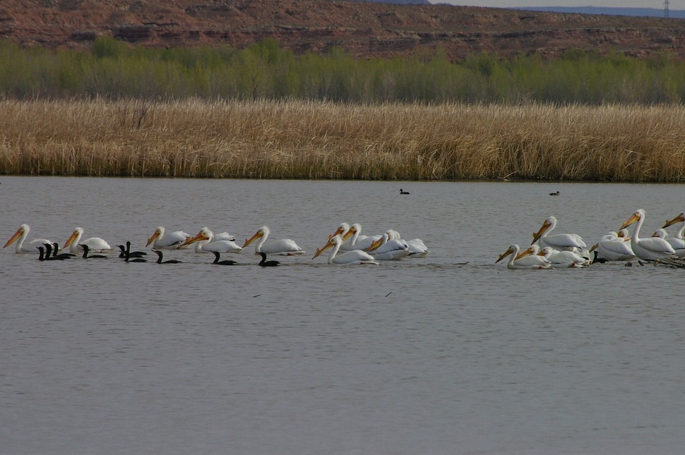 (Photo courtesy of Ouray National Wildlife Refuge) In this 2008 photograph, pelicans at Ouray National Wildlife Refuge in Uintah County.