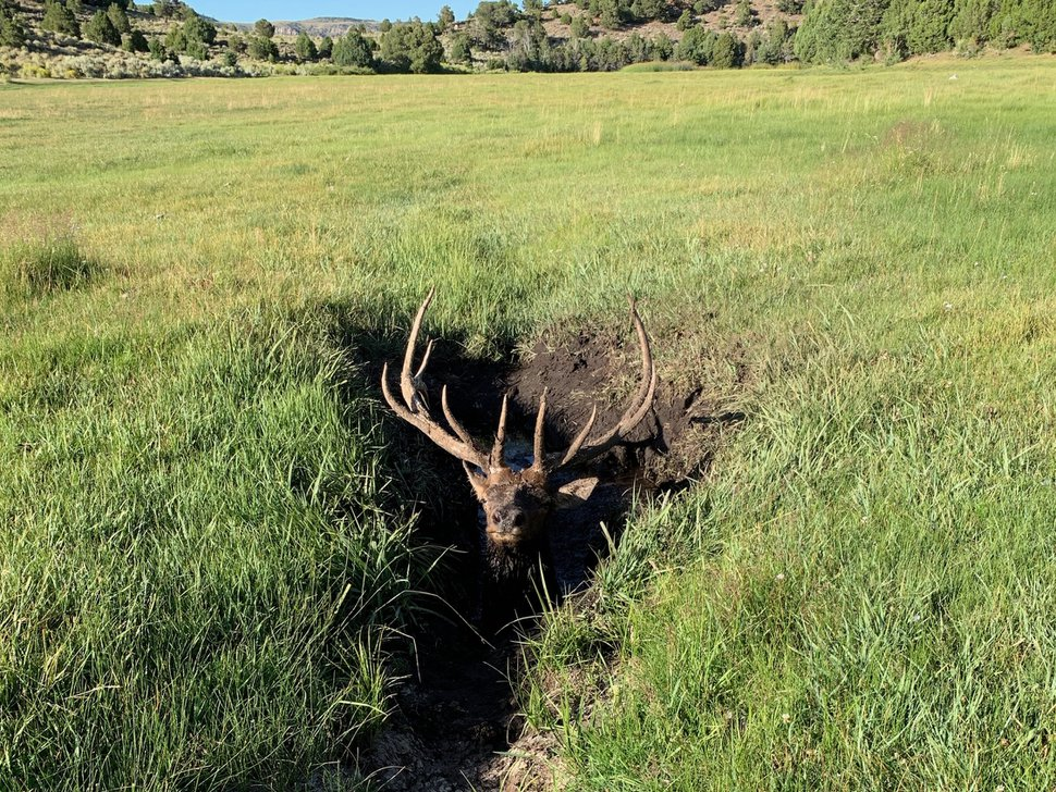 (Photo courtesy of Utah Division of Wildlife Resources) An elk trapped in mud awaits rescue Wednesday, Aug. 29, 2019.