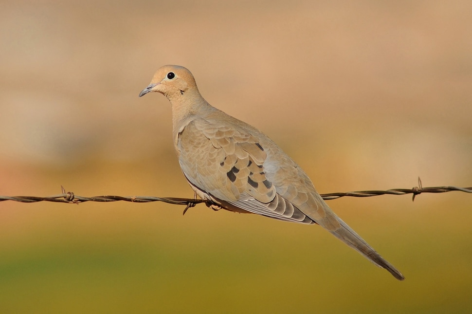 (Photo courtesy of Utah Division of Wildlife Resources) You can hunt mourning doves in Utah starting Sept. 1. The number of doves in Utah is similar to last fall.