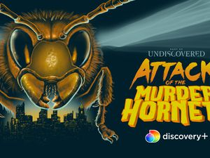 """(Courtesy of Discovery+) """"Attack of the Murder Hornets"""" starts streaming Saturday, Feb. 20, on Discovery+.)"""