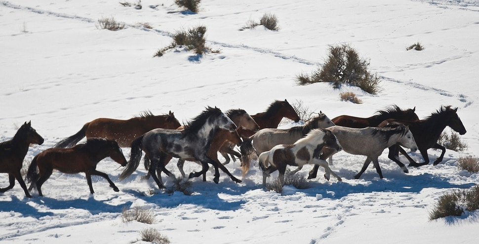 Chris Detrick | The Salt Lake Tribune Wild horses from Utah's Swasey herd are rounded up by Cattoor Livestock Roundup Co in the West Desert near the Swasey Mountains Thursday February 14, 2013. Under the Bureau of Land Management operation 50 miles west of Delta, helicopter wranglers will gather 262 horses. One hundred will be released back into the Swasey Herd Management Area — one of Utah's 19 HMAs on federal land. Many of the horses released will be mares treated with the contraceptive Porcine Zona Pellucida (PZP-22).