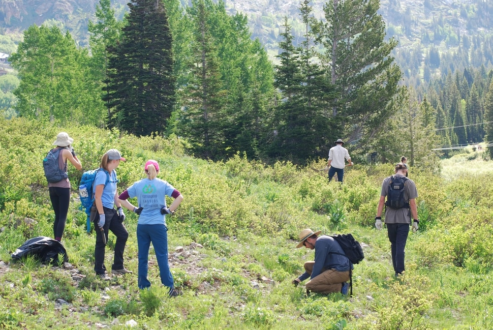 (Sara Tabin | The Salt Lake Tribune) Town of Alta Restoration Day volunteers work together to remove invasive plants from the Alta Ski Area on Saturday, July 6, 2019.