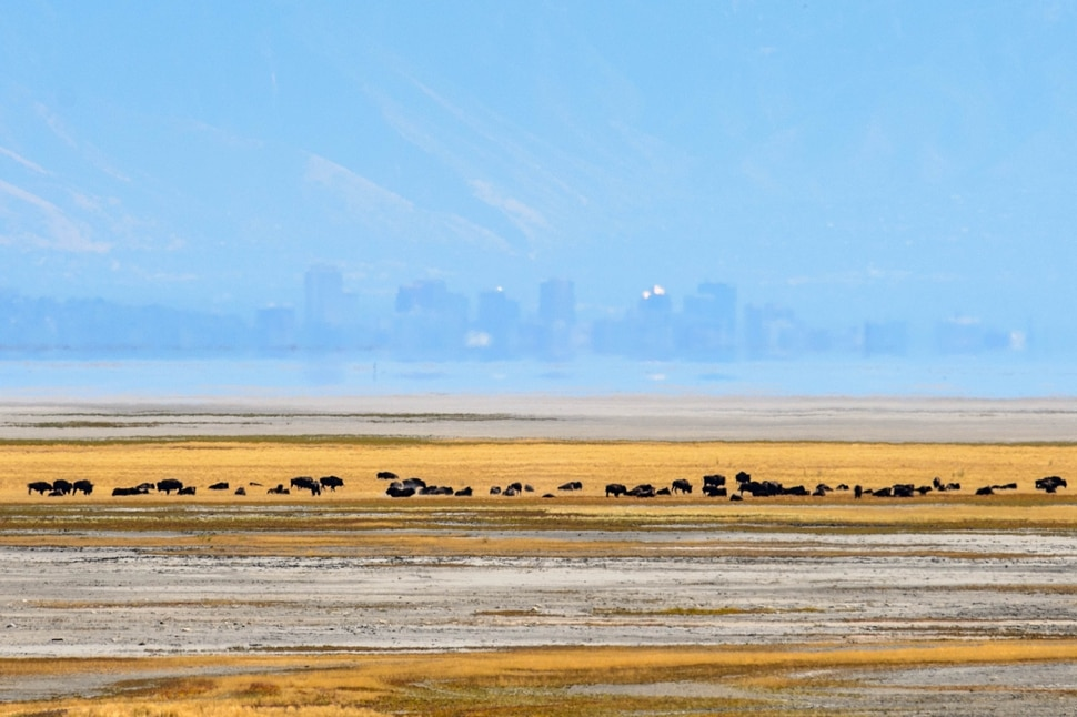 (Trent Nelson | The Salt Lake Tribune) Bison near the shoreline of the Great Salt Lake at Antelope Island State Park, with Salt Lake City in the background on Thursday Sept. 19, 2019.