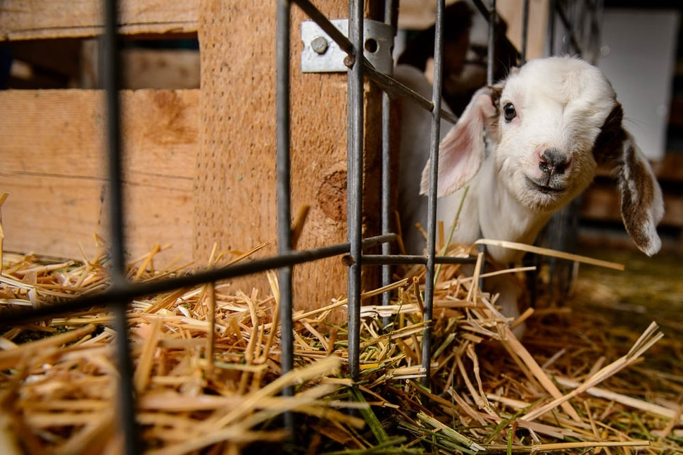 (Trent Nelson   The Salt Lake Tribune) A new kid a the East African Refugee Goat Project, Saturday March 24, 2018.