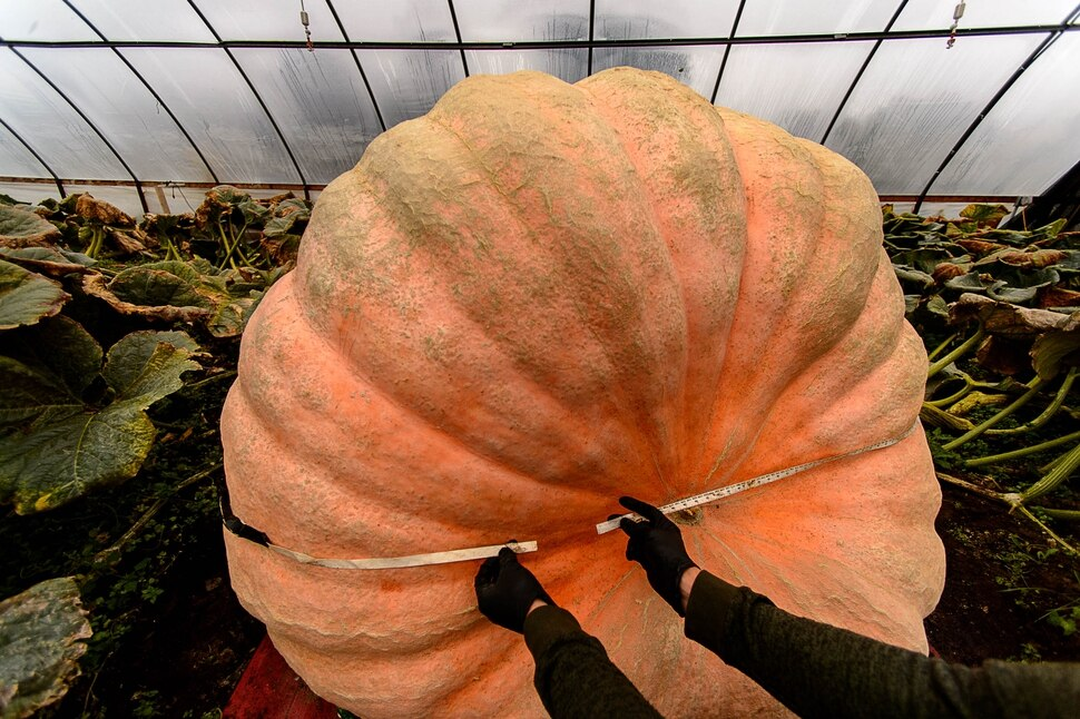 (Trent Nelson | The Salt Lake Tribune) A 15-foot tape measure comes up short while measuring Matt McConkie's nearly 2000-pound pumpkin. He was photographed in his Washington Terrace greenhouse, Tuesday, Sept. 19, 2017.