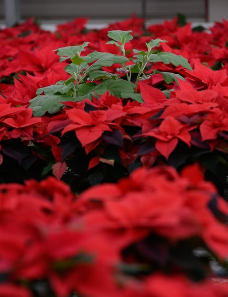 (Francisco Kjolseth | The Salt Lake Tribune) An egg plant sits amongst the poinsettias to help draw away any white flies that might be present amongst the colorful plants acting as a natural pest control companion at the Salt Lake City International Airport greenhouse where 1500 poinsettias have been grown for the holiday season.