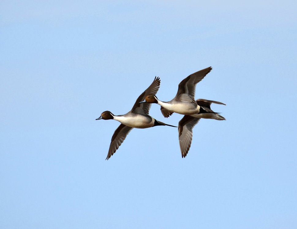 For the first time in years, you can take only one pintail duck a day in Utah. (Courtesy Derek Murdock, Utah Division of Wildlife Resources)