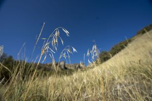 (Rick Egan   The Salt Lake Tribune)Cheat grass grows at the site of the Dry Canyon fire in Lindon, on Friday, Oct. 1, 2021.