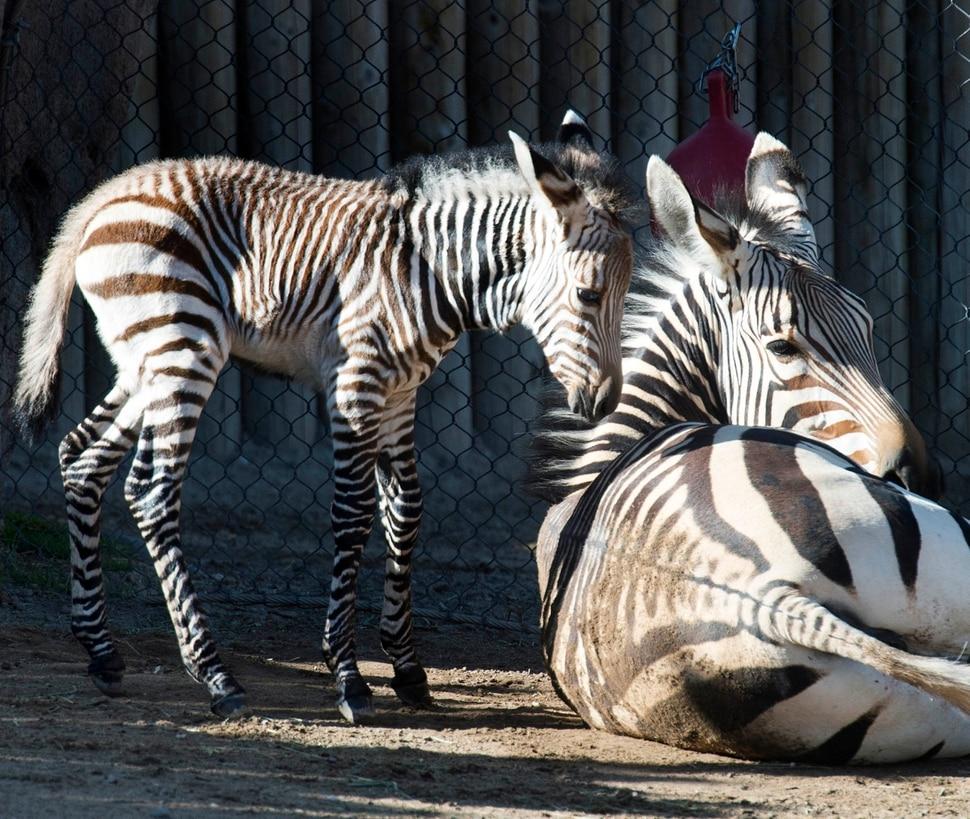 (Rick Egan | The Salt Lake Tribune) Ziva the Zebra and her baby, born Saturday at Hogle Zoo. Thursday, June 7, 2018.