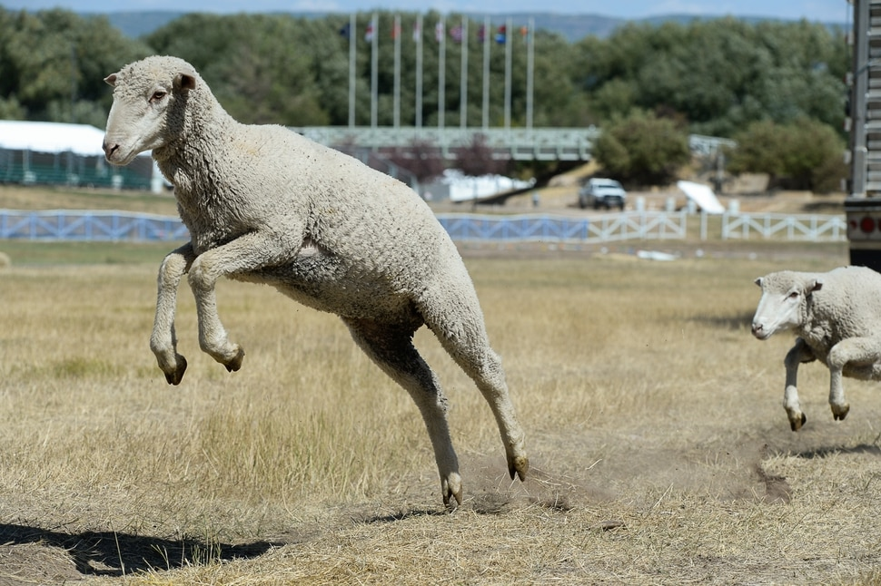 (Francisco Kjolseth | The Salt Lake Tribune) Hundreds of sheep arrive from the Strawberry Valley to Midway's Soldier Hollow as they leap from trucks on Wed. Aug. 29, 2018, for this weekend's 16th annual Soldier Hollow Classic Sheepdog Championship and Festival, which runs Aug. 31-Sept. 3. This year, 44 dogs and 34 handlers will work with 331 sheep for the $20,000 purse.