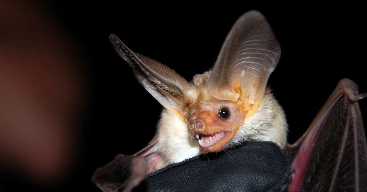 A student is being checked for rabies after hundreds of bats invaded Layton High School auditorium
