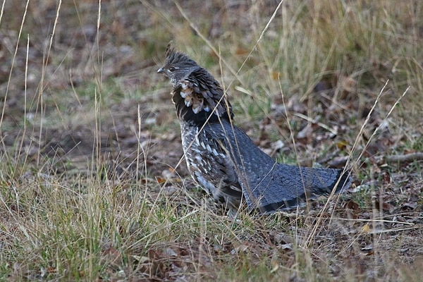 (Photo courtesy of Utah Division of Wildlife Resources) Lots of ruffed grouse will be available when Utah's forest grouse hunt opens Sept. 1.