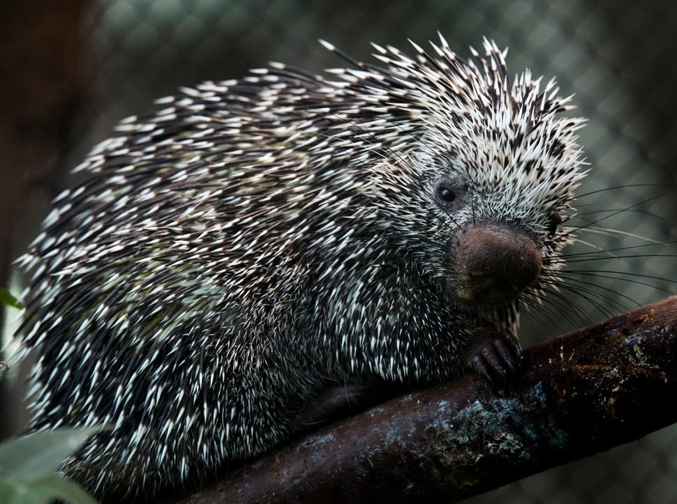 (Rick Egan | The Salt Lake Tribune) Darwin, a prehensile-tailed porcupine is one of two new porcupines introduced today at the Loveland Living Planet AquariumTuesday, Aug. 21, 2018.