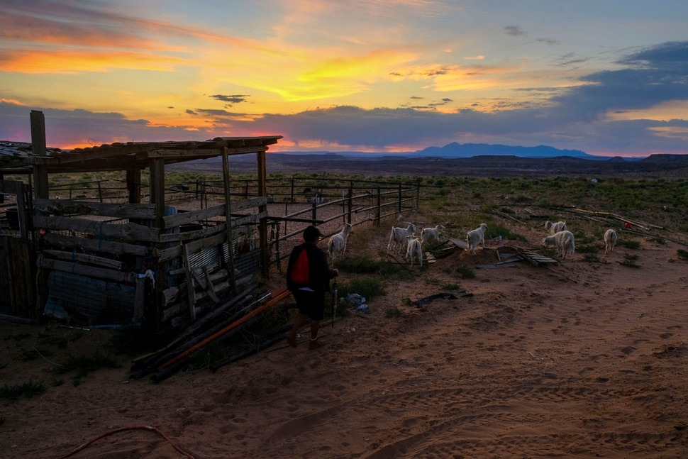 (Leah Hogsten | The Salt Lake Tribune) At first light, Marilyn Holly, 66, shepherds her small herd of goats out to feed on the Navajo Nation land surrounding her home in Montezuma Creek, June 24, 2020.