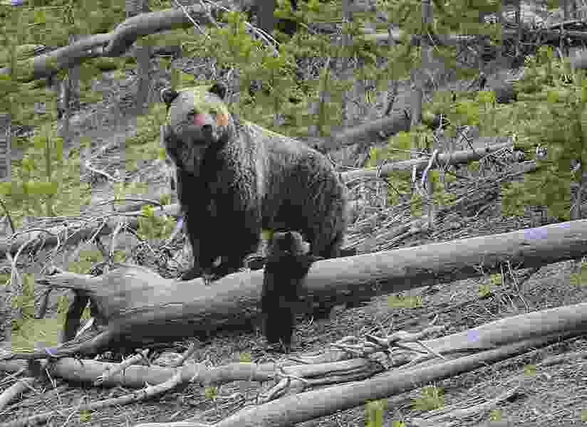 U.S. wildlife officials agree to Lower 48 grizzly bear review