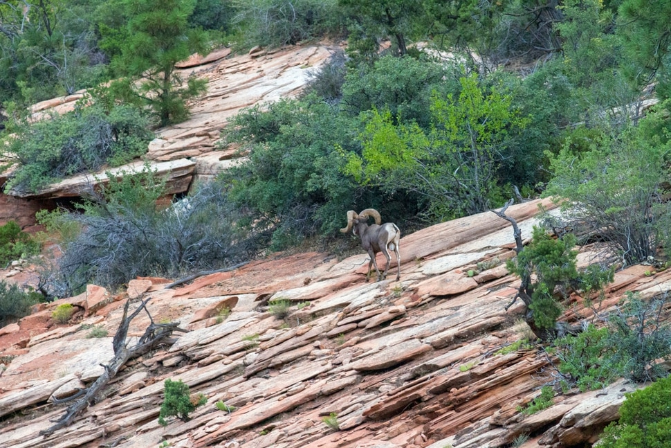 (Photo courtesy of the Utah Division of Wildlife Resources and the National Park Service) Please contact park biologists if you see or hear desert bighorn sheep coughing in Zion National Park. Your report will help biologists determine how many sheep have contracted pneumonia.