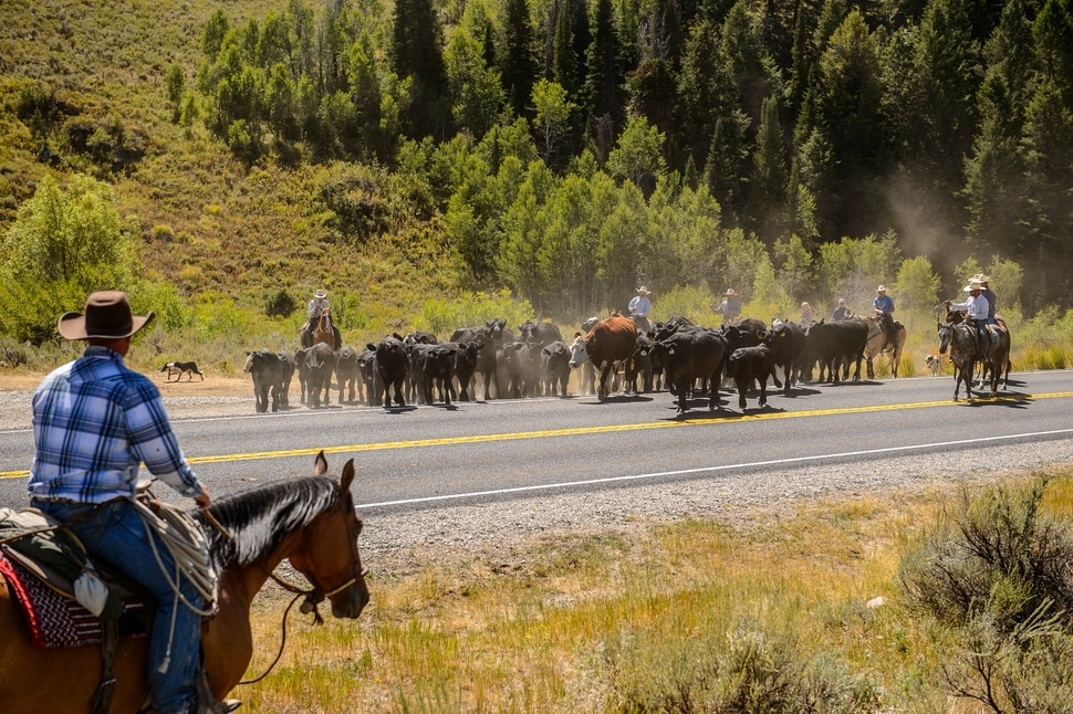 (Trent Nelson | The Salt Lake Tribune) Ranchers plan to move 1,200 head of cattle through Logan Canyon this week, including this group on Tuesday Aug. 27, 2019.