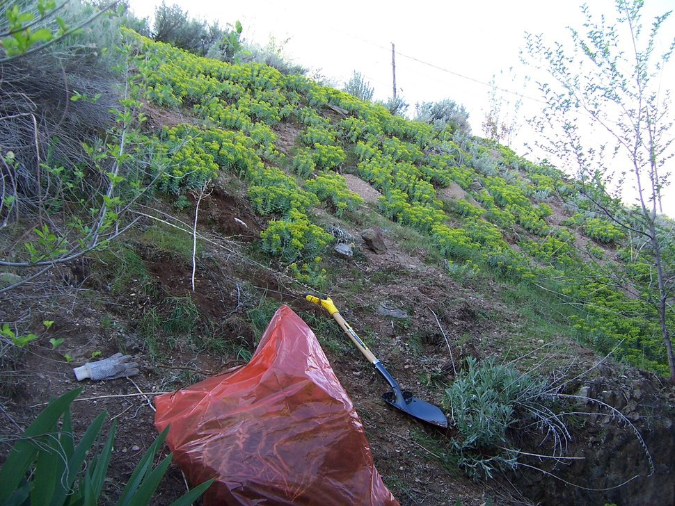 (Erin Alberty | The Salt Lake Tribune) Invasive myrtle spurge is gradually thinned out in the former backyard in Salt Lake City of Tribune reporter Erin Alberty.