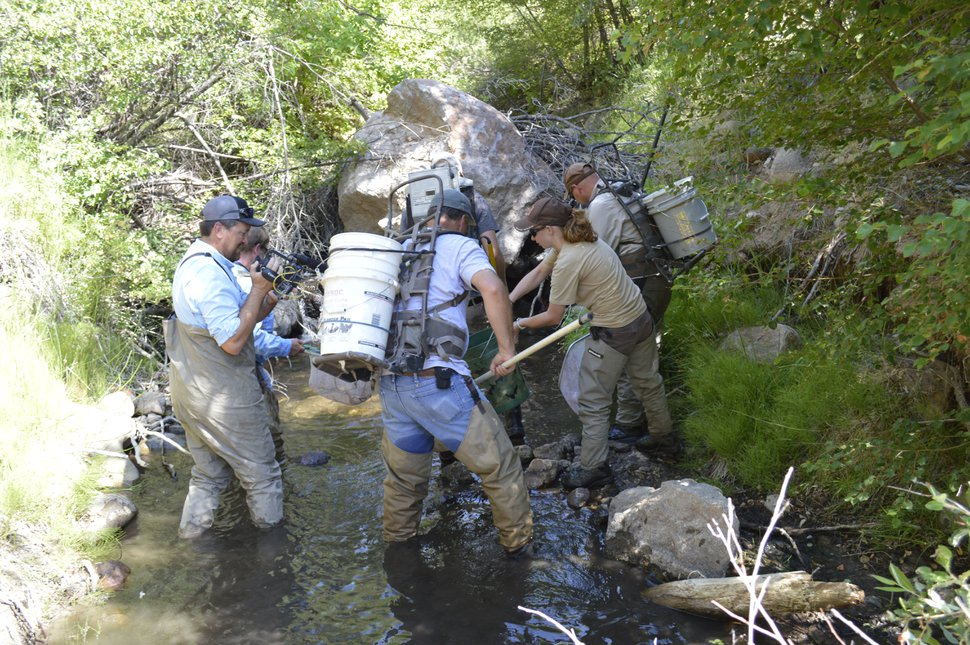 (Photo courtesy of Utah Division of Wildlife Resources.) Utah fisheries managers extracted 400 native cutthroat trout on Monday from a southern Utah stream threatened by the West Valley Fire in the Pine Valley Mountains. These fish will be held at state hatchery for a year or two while the South Ash Creek watershed recovers.
