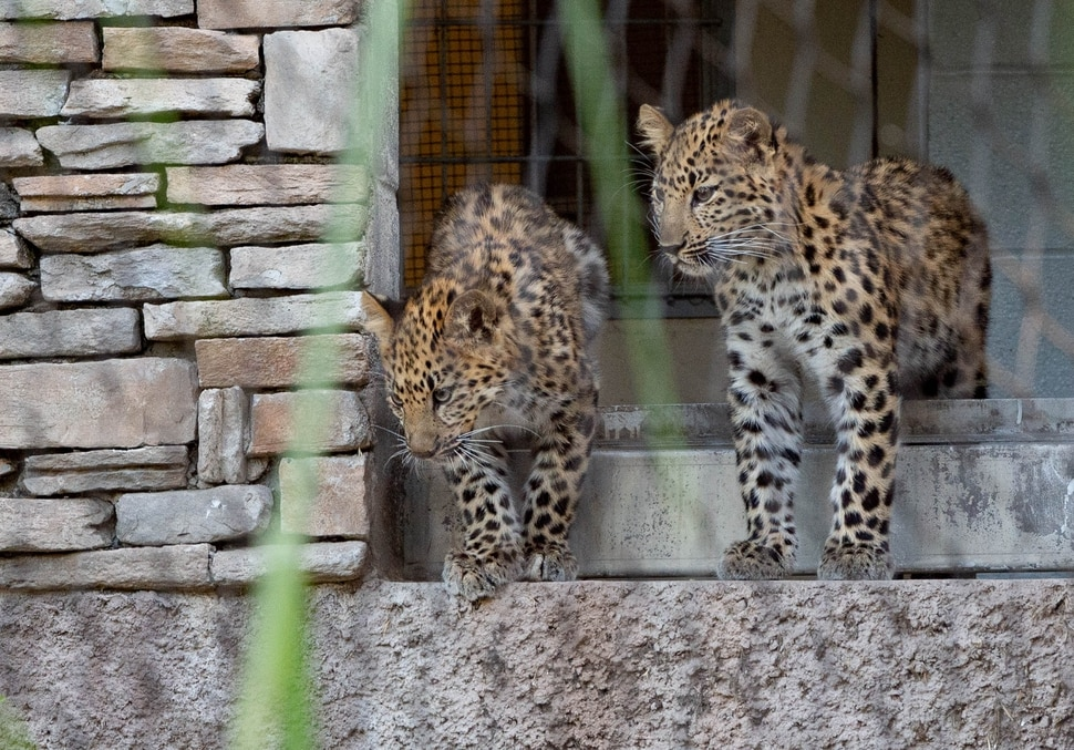 (Francisco Kjolseth | The Salt Lake Tribune) Hogle Zoo introduces its new babies, leopard cubs Skye, left, and Storm, along with a baby gorilla, who will be named by whoever makes the highest bid at the zoo's annual fund-raiser on Sept. 10 — which will be virtual this year.