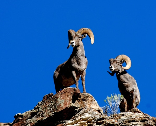 (Courtesy of the Utah Division of Wildlife Resources) Nov. 15 is the last day to apply for a 2018 sportsman permit. If you draw the permit for Rocky Mountain bighorn sheep, you'll have plenty of days and places to