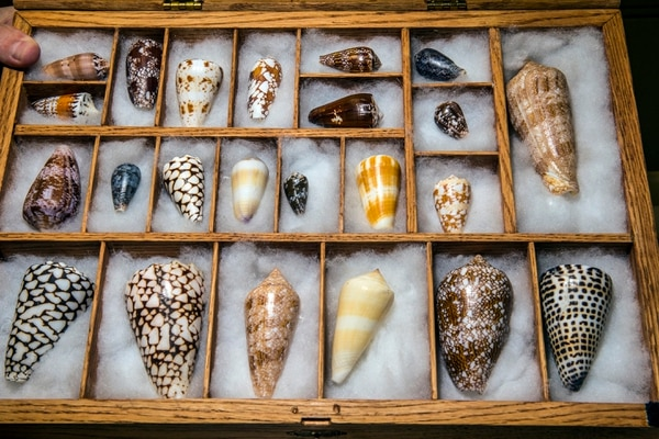( Chris Detrick | The Salt Lake Tribune ) Various Conus shells on display in the south biology building at the University of Utah in 2015. The Department of Defense is now providing $10 million in funding to the U. to research whether compounds from the venom of cone snails and other marine organisms can lead to painkiller alternatives to addictive opioids.
