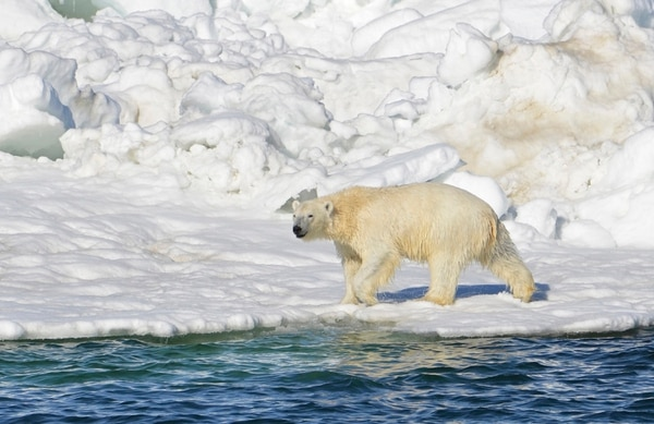 (AP file photo, via Brian Battaile/U.S. Geological Survey) A polar bear dries off after taking a swim in the Chukchi Sea in Alaska. The region has become a magnet for nations wanting to exploit the Arctic's rich oil reserves and other natural resources and for scientists seeking to understand global warming and its impacts on the sea and wildlife.