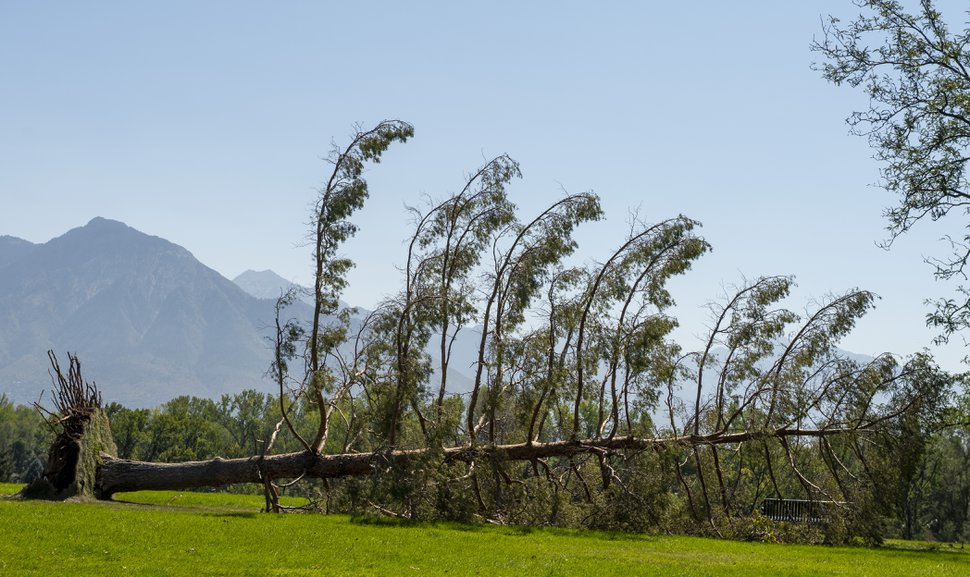 (Rick Egan | The Salt Lake Tribune) One of the many downed trees from the high winds earlier this week at Sugarhouse Park, on Saturday, Sept. 12, 2020.