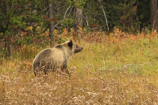 (Photo courtesy of the Bridger-Teton National Forest) Wildlife in the Bridger-Teton National Forest.