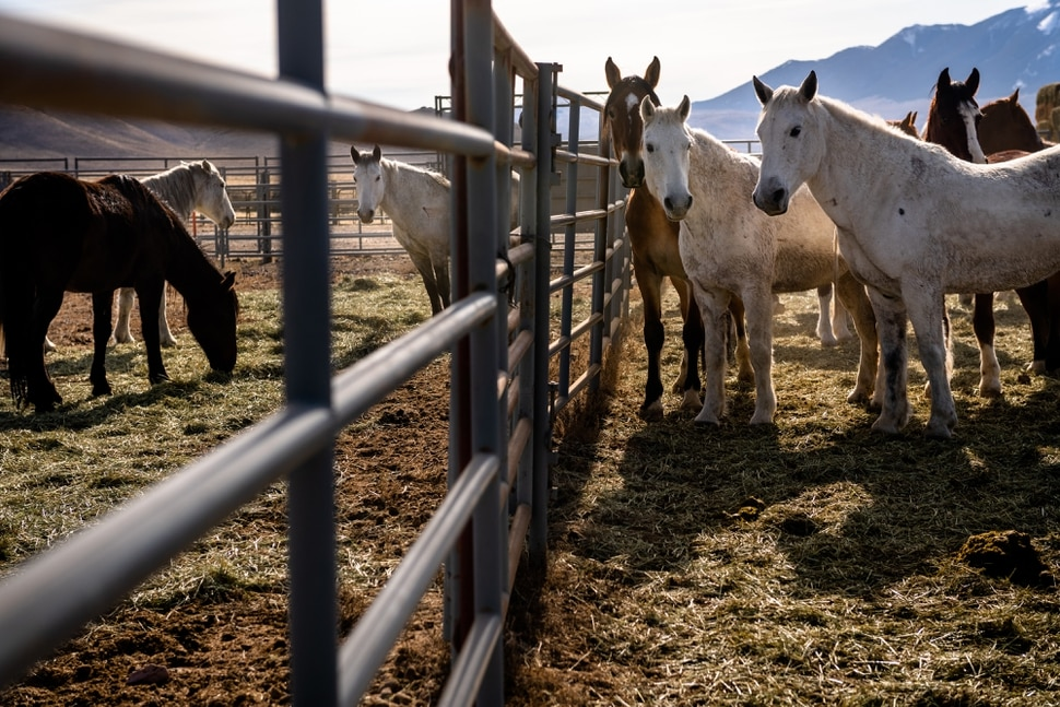 (Hilary Swift | The New York Times) Mares rounded up by the Bureau of Land Management in Challis, Idaho, Nov. 7, 2019. With too many animals on public lands and too many on the public's hands, the federal wild horse management program is short of money or palatable solutions.